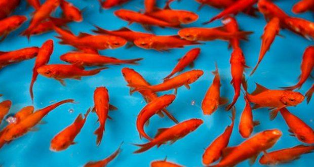 چرا عمر ماهی قرمز در خانههایتان کوتاه میشود؟